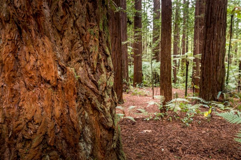 Redwood Forest in Rotorua (North Island, New Zealand)